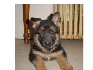 German Shepherd Puppies In Maryland