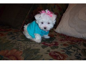 maltese puppies for sale in oklahoma maltese puppies in oklahoma 2162