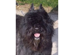 Bouvier Des Flandres Puppies In Indiana