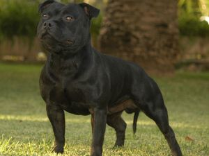 staffordshire bull terrier puppies for adoption