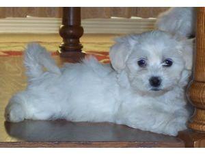 coton de tulear puppies in utah