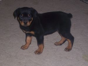 Rottweiler Puppies In Missouri