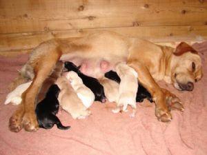 Labrador Retriever Puppies in Michigan