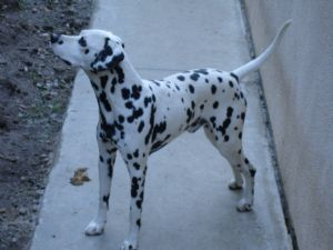 Dalmatian Puppies In California