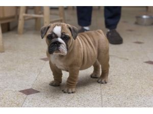 English Bulldog puppies for sale ...