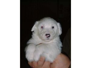 Old English Sheepdog Puppies in Texas