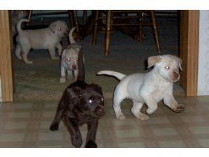 Labrador Retriever Puppies in Kentucky
