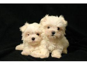 Maltese Puppies In Iowa