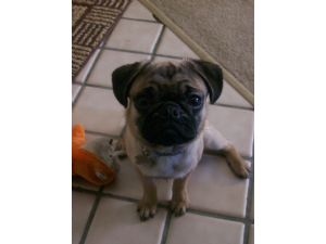 Brindle Pugs For Sale In Oregon To Download Brindle Pugs ...