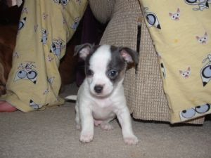chihuahua for sale in ohio
