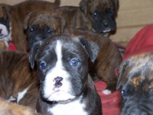Boxer Puppies in Mississippi