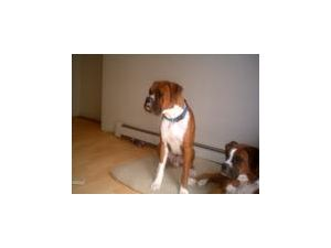 Boxer Puppies In New Jersey