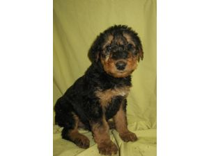 Airedale Terrier Puppies In Missouri