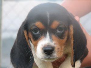 Beagle Puppies In Georgia