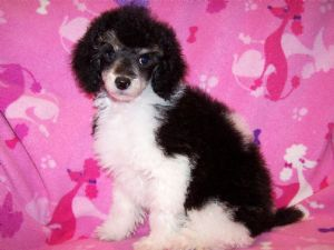 Miniature Poodle Puppies In Iowa