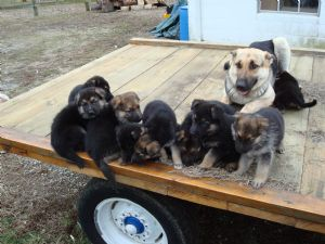 Dogs For Sale In Lexington Ky On Craigslist