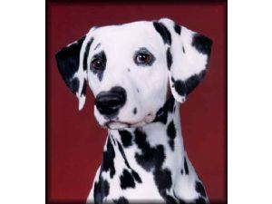 Dalmatian Puppies In Illinois