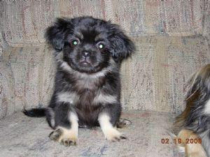 Tibetan Spaniel Puppies For Sale