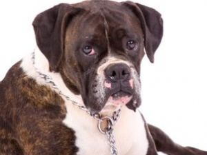 boxers for sale in michigan