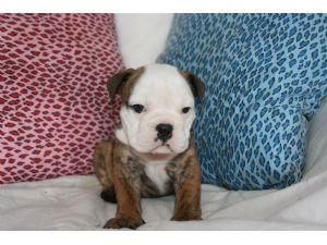 English Bulldog Puppies in Illinois