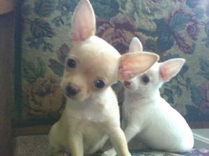Chihuahua Puppies in Ohio