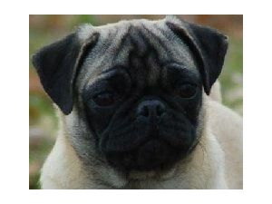 pug puppies for sale in ct pug puppies in connecticut 4921