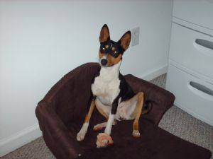 Basenji Puppies For Sale