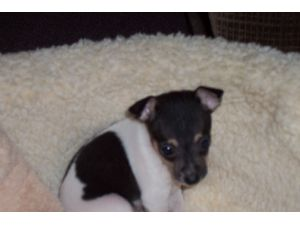 Fox Terrier Smooth Puppies For Sale
