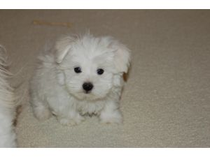 Maltese Puppies In Texas