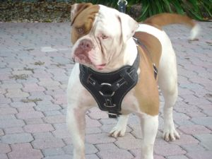 red nose american bulldog red nose american bulldog 7109