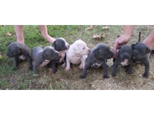 American Pit Bull Terrier Puppies in Mississippi