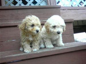 Miniature Poodle Puppies In Texas