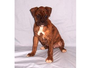 Boxer Puppies In Indiana