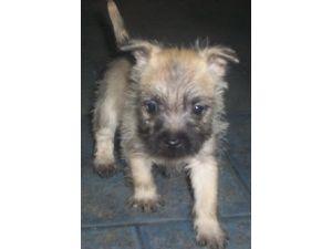 Cairn Terrier Puppies in Pennsylvania