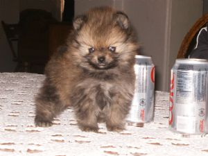 Pomeranian Puppies In Arizona