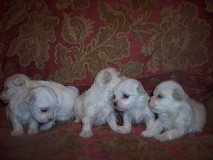 Maltese Puppies in Washington DC
