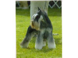 Schnauzer Puppies for Sale