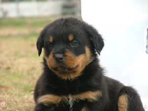 Rottweiler Puppies In Florida