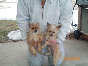 Chihuahua Puppies in Iowa