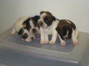 French Bulldog Puppies in Texas