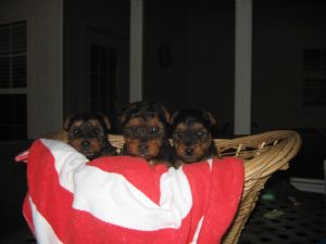 Welsh Terrier Georgia Welsh Terrier puppies ...