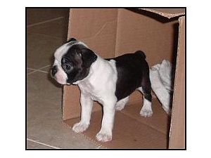 Boston Terrier Puppies in Florida
