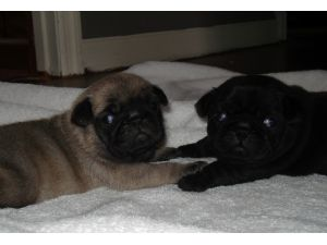 Pug Puppies in Georgia