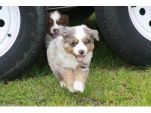 Australian Shepherd Puppies in Florida