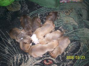 American Bulldog Puppies in Florida