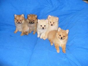 Pomeranian Puppies in Arkansas