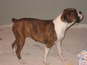 Boxer Puppies In Louisiana
