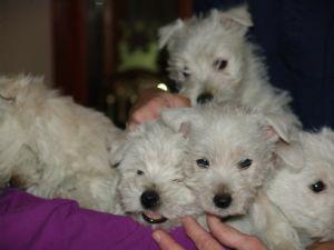West Highland White Terrier Puppies in Michigan