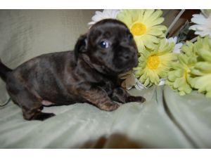 French Bulldog Puppies In Illinois