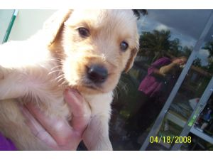 Golden Retriever Puppies in Florida